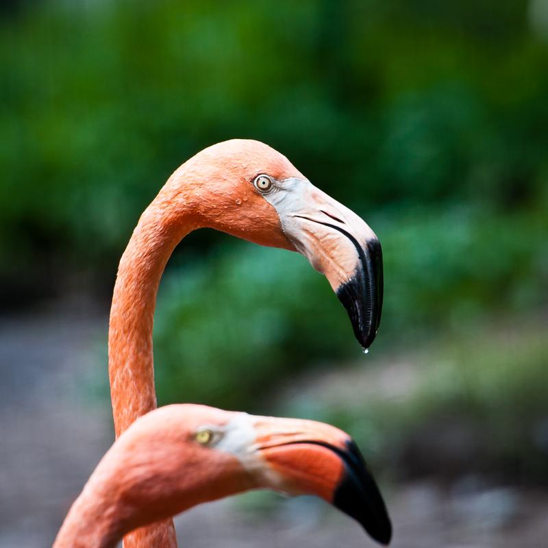 Flamingos Tierpark Nuernberg