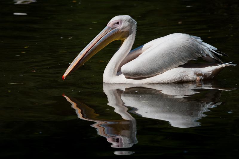 Pelikan Tierpark Nuernberg